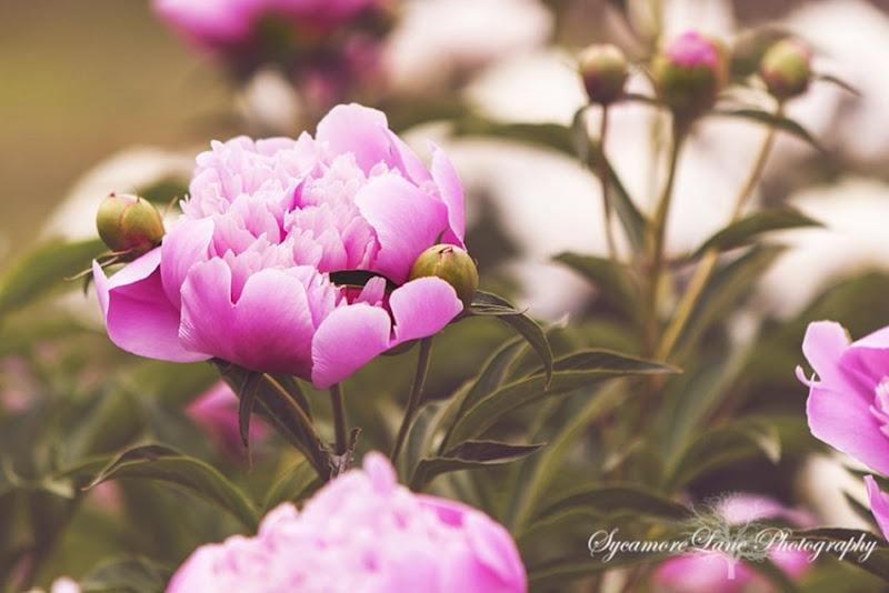 sycamoreLane Photography-peony-4