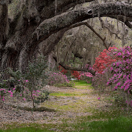 Live Oak Lane by Steve DuPree - Landscapes Travel ( charleston, trees, places, flowers, landscape, magnolia gardens, spring, south carolina )