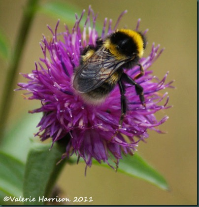 39-bee-on-knapweed