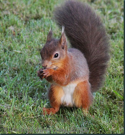 red-squirrel (2)