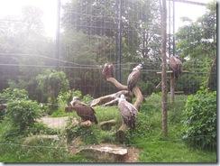 2008.05.26-005 vautours