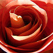 Rose3_1172 Poster Edges.jpg