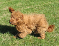 Red Labradoodle, Sire Sailor,<br /> father to Tennison &amp; Elenora