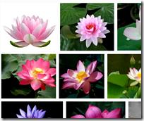 Lotus flowers