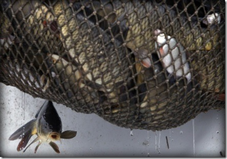 fish-in-nets via washingtonpost