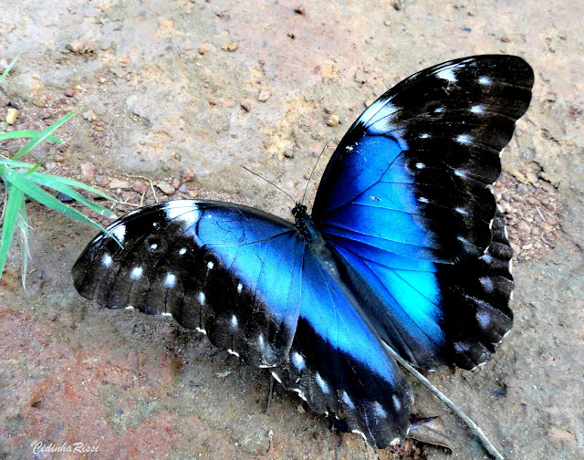 Morpho (Grasseia) menelaus coeruleus (PERRY, 1810), femelle. Colider (Mato Grosso, Brésil), avril 2011. Photo : Cidinha Rissi