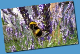 800px-Bumblebee_on_lavender