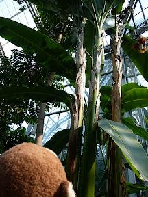 CM and banana trees