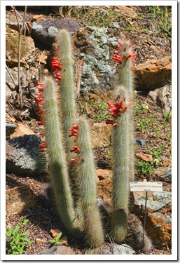 130428_UCBG_SpringSale_Cleistocactus-hyalacanthus_01
