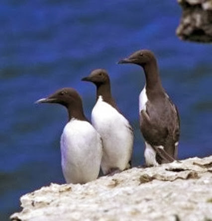 Amazing Pictures of Animals, Photo, Nature, Incredibel, Funny, Zoo, Guillemots, seabird, Bird, Alex (3)