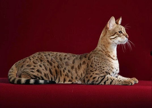 Amazing Pictures of Animals, Photo, Nature, Incredibel, Funny, Zoo,  Savannah cat,  domestic hybrid cat, Alex (7)
