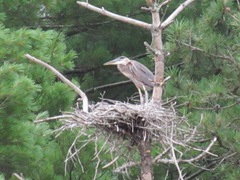 great blue heron in nest3. 7.25.2013