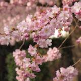 Prunus cerasifera 'Pissardii'