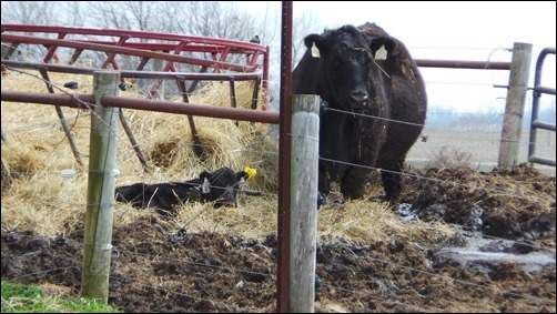 cow and calf hanging out