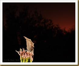 untitled Lesser Long-nosed Bat -D3C_3102 September 18, 2011 NIKON D300S