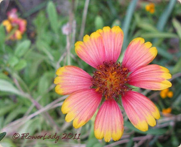 12-02-blanket-flower
