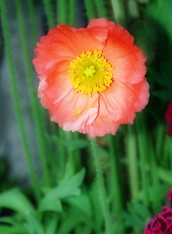 [Coral-Colored%2520Icelandic%2520Poppy%255B5%255D.jpg]