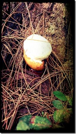 jamur pinus