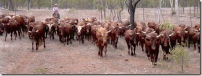 australia_cow