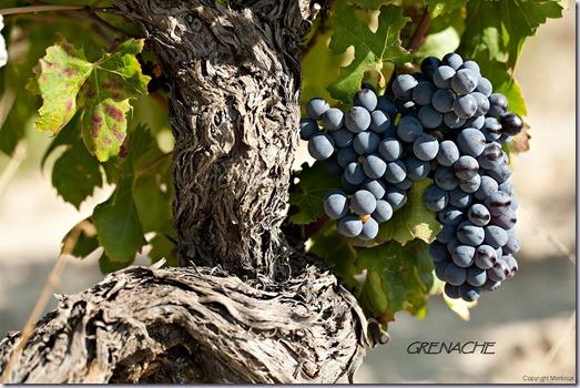 grenache-noir-vinho-e-delicias