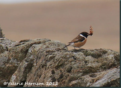 48-stonechat-and-emperor
