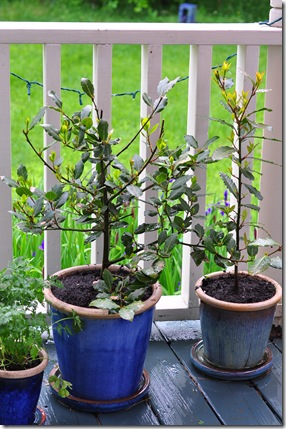 bay leaf plants