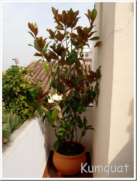 magnolio 2