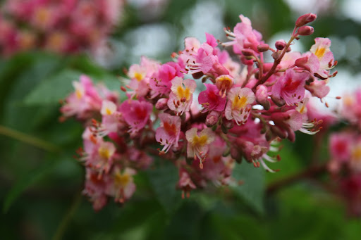 I believe these blossoms are actually red horse chestnut.