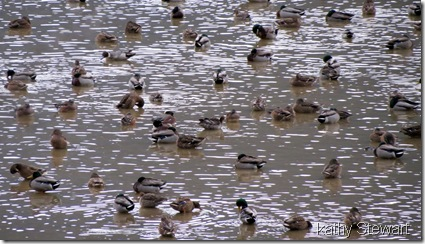 Some Wigeon too