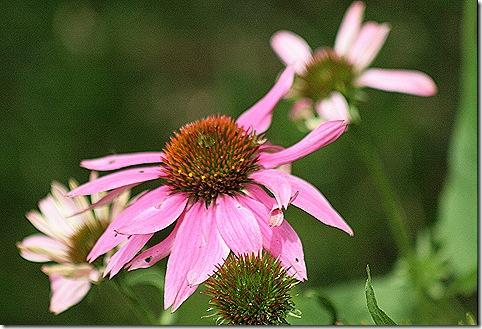 Echinacea_PowWow_Wildberry