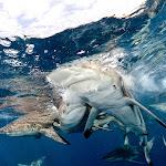 Oceanic black tip sharks