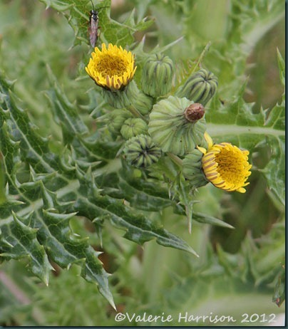 16-prickly-sow-thistle