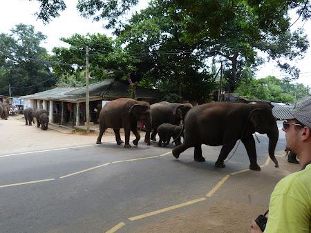 Imagini Sri Lanka: elefanti traversand strada