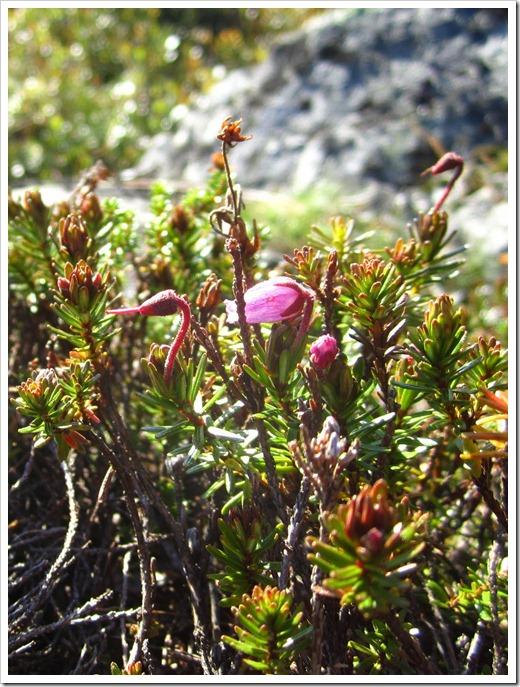 En liten tuva av någon rosa blomma kämpade på en sten.