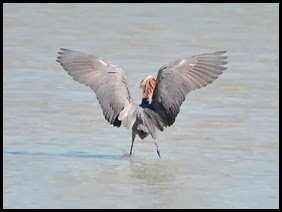 02f - Reddish Egret THE END