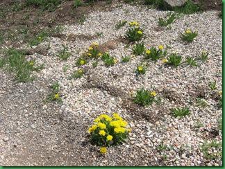 Bristle Cones at Cedar Breaks 010