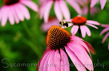 coneflowers and bee-w