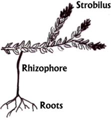 Rhizophore