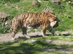 2008.07.01-014 tigre de Sibérie