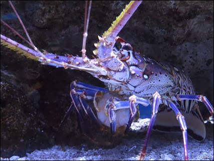 Florida spiney lobster eating a shrimp