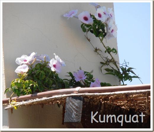 bignonia blanca 2