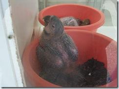 2004.08.25-068 bébés perroquets dans la nursery