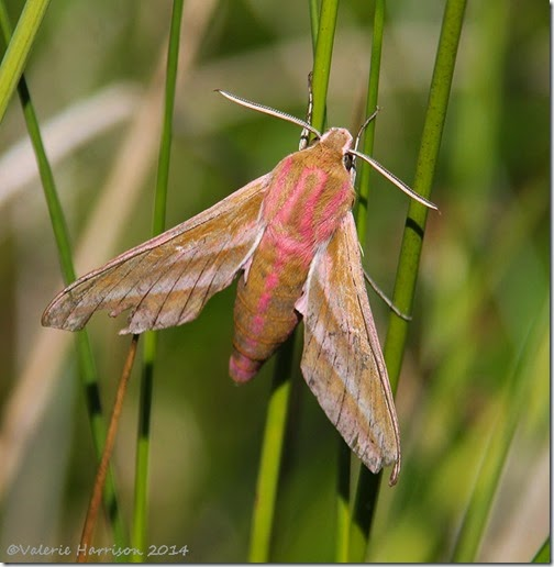 Elephant-Hawk-moth-2