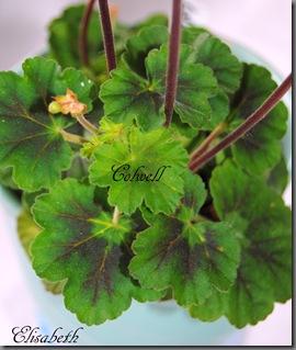 Pelargonium juni-11 213