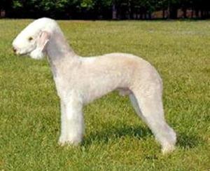 Bedlington-Terrier-300x244