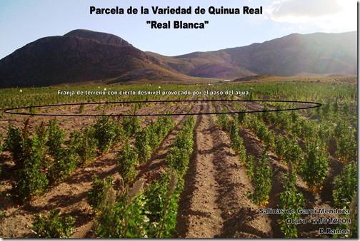 Franja_de_terreno_con_cierto_desnivel_en_la_variedad_de_Quinua_ Chenopodium_quinoa_Real_Blanca-D.Ramos-Laquinua.blogspot.com
