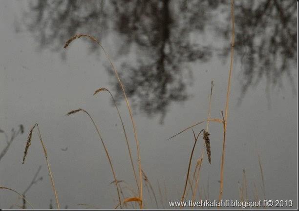 vesiperä kuvia 024