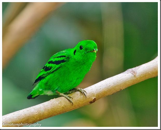 Green BB(m)3