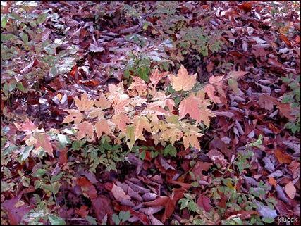 fal foliage