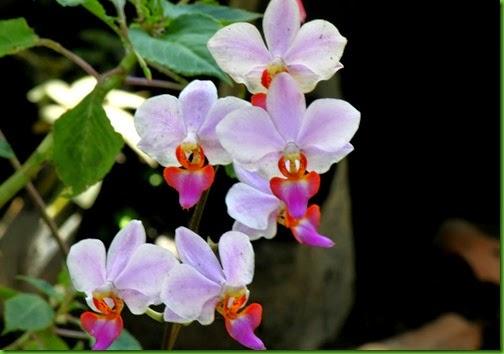 OR Phalaenopsis pulcherrima